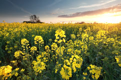 Canola seed flower field st sunset. Holland Royalty Free Stock Photography