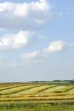 Canola Sky Royalty Free Stock Image
