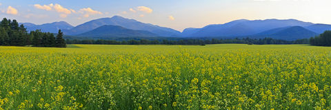 Canola stellt Adirondacks-Panorama auf Stockfotos