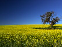 Canola Tree Royalty Free Stock Image