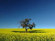 Canola Tree royalty free stock photo