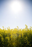 Canola Under Sun Stock Images