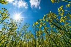 Canola van het bloemenlandschap Stock Afbeeldingen