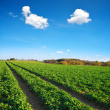 Canola verde che cresce sul campo Fotografie Stock