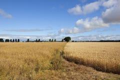 Canola and wheat Royalty Free Stock Photo