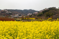 Canola wiosny śródpolny sezon w hanamiyama Zdjęcie Stock