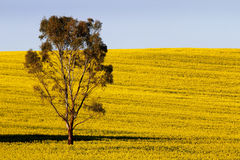 Canola Yellow Stock Photos