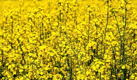 Canola. Yellow canola field for background Royalty Free Stock Image