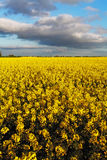 Canola Yellow field Stock Images