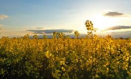 Canola Yellow field Stock Photography