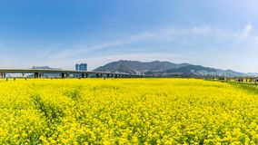 Canola Yuchae Festival at Daejeo Ecological Park , Busan, South Korea stock photography