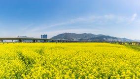 Canola Yuchae festiwal przy Daejeo Ekologicznym parkiem, Busan, Południowy Korea fotografia stock
