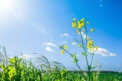 Canolablume im grünen Gras Lizenzfreie Stockfotografie