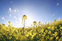 Canolablumen im Sonnenschein über blauem Himmel lizenzfreies stockfoto