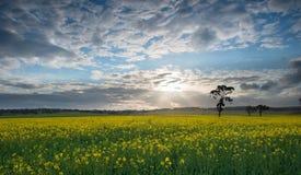 Canolafält Australien Royaltyfri Fotografi