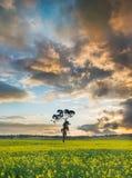 Canolafält Australien Arkivbilder