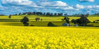 Canolafält i Australien royaltyfria bilder