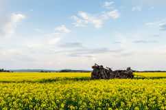 Canolafält nära Ballarat fotografering för bildbyråer