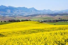 Canolafält, trädgårds- rutt, Sydafrika Arkivfoto