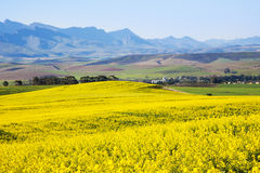 Canolafeld, Garten-Weg, Südafrika Stockfoto