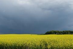 Canolafeld gegen stürmischen Himmel Stockfotos