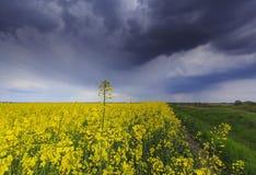 Canolafeld im ländlichen Gebiet Stockbilder