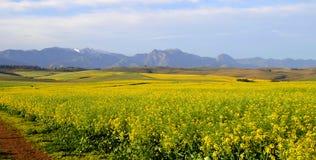 Canolafeld im Overberg - dem Südafrika Lizenzfreies Stockbild