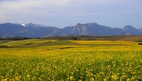 Canolafeld im Overberg - dem Südafrika Stockfotografie