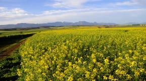Canolafeld im Overberg - dem Südafrika Stockfoto