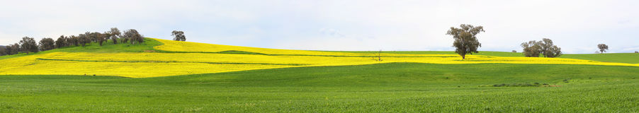 Canolafelder und weiden lassen Weiden lizenzfreies stockbild