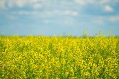 Canolagebied in Calgary Alberta klaar voor oogst royalty-vrije stock foto