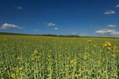 Canolagebied en blauwe bewolkte hemel Royalty-vrije Stock Foto