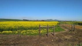 Canolagebieden in de lente royalty-vrije stock fotografie