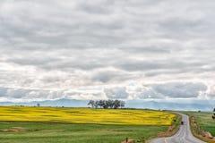 Canolagebieden langs weg N7 aan het Noorden van Piketberg stock fotografie