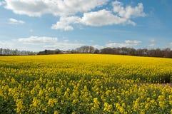 Canolagewassen in het platteland van Engeland Royalty-vrije Stock Afbeelding