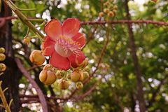Canon ball tree`s flowers Royalty Free Stock Images