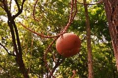 Canon ball tree`s fruit Stock Photo