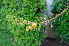 Canon balowy drzewo - okulizowanie kwiaty Fotografia Royalty Free