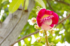 Canonball flower (Couroupita guianensis) Stock Photos