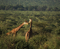 Canoodling giraffe Royalty Free Stock Images