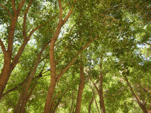 Canopy. A picture of the tops of tall and thin cottonwood trees Royalty Free Stock Photography