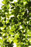 Canopy. Illuminated leaves seen under a tree's canopy royalty free stock photography