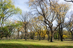 Canopy of American elms in Central Park Royalty Free Stock Photo
