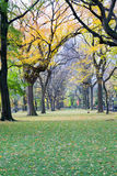 Canopy of American elms in Central Park Royalty Free Stock Images