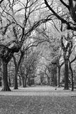 Canopy of American elms in Central Park Royalty Free Stock Image