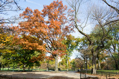 Canopy of American elms in Central Park Stock Images