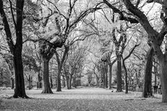 Canopy of American elms in Central Park Stock Photography