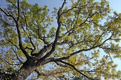 Canopy of Autumn Tree Stock Photography