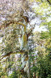 Canopy of big Australian Eucalyptus tree looking up Royalty Free Stock Photos