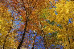 Canopy of birch and maple leaves. A colorful autumn canopy of birch and maple leaves, carlos avery wildlife refuge, minnesota Royalty Free Stock Images